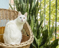 White cat sitting in the wicker chair Royalty Free Stock Photo