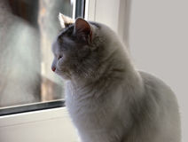 White cat sitting at the window. Waiting. Brooding royalty free stock photography