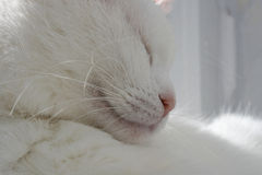 White cat. Sleep in the sun Stock Photography