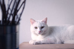 White cat sleep on table. White cat sleep on table and white background Royalty Free Stock Photos