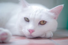 White cat sleep on table. White cat sleep on table and white background Stock Image