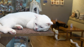 White cat is sleeping Stock Photography