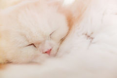 White cat. Is sleeping in the cafe cat Royalty Free Stock Photography