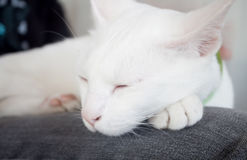 White cat sleeping in cat cafe Stock Photography