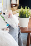White cat sleeping in cat cafe Royalty Free Stock Images