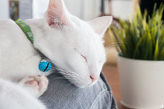 White cat sleeping in cat cafe Royalty Free Stock Photography
