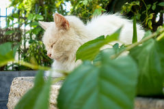 White cat sleeping. White fur home cat lays sleeping Royalty Free Stock Photography
