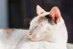 White cat sleeping Stock Image