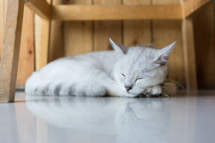 White cat sleeping Stock Image