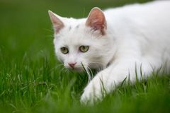 White cat sneaking on grass. Small white cat sneaking on grass and playing hunting Royalty Free Stock Photography