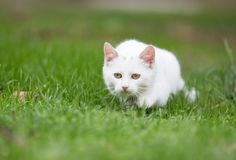 White cat sneaking on grass. Small white cat sneaking on grass and playing hunting Stock Photos