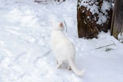 White cat sneaks through the snow. Winter hunt Royalty Free Stock Images
