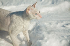 The white cat on the snow Stock Photos