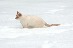 White cat in the snow Royalty Free Stock Image