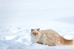 White cat on the snow Royalty Free Stock Image