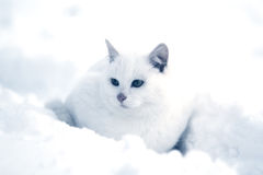 White cat in snow. White kitten sitting in snow winter field Stock Photography