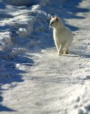 White cat on snow Royalty Free Stock Images