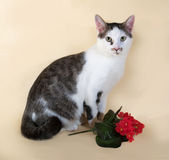 White cat with spots teenager sitting next to red flower on yell Royalty Free Stock Images