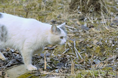 White cat Stock Image
