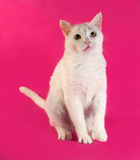 White cat standing on hind legs on pink Stock Image