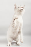White cat. Standing up on two legs Stock Photos