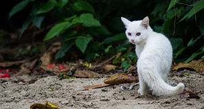 White Cat Stare Royalty Free Stock Images