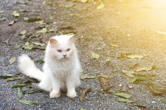 White cat staring looking see forward Royalty Free Stock Images