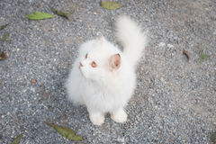 White cat staring looking see forward Stock Image