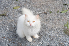 White cat staring looking see forward Royalty Free Stock Photos