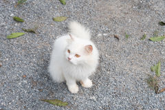 White cat staring looking see forward Stock Photo