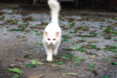 White cat staring looking see forward Stock Photography