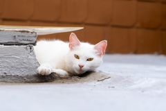White cat staring at me wondering what I want stock images