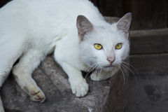 White cat staring somewhere. A white cat sitting on a rock staring somewhere Stock Photos
