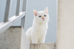 White cat staring from upstair Royalty Free Stock Photos