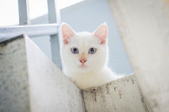 White cat staring from upstair Royalty Free Stock Photo
