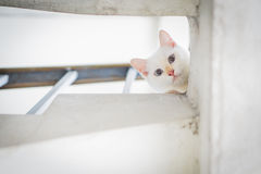 White cat staring from upstair Royalty Free Stock Photography
