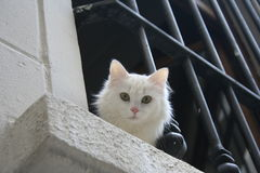 White Cat. Starring out of a window, Istanbul, Turkey Royalty Free Stock Photo