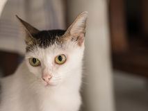 White Cat Starring Seriously. White Black Cat Starring Seriously Royalty Free Stock Photos