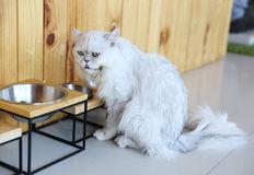 White cat with steel bowl Royalty Free Stock Photo