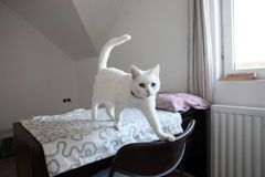White cat. Stepping out of the bed Stock Images