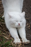 White cat straightening its feet with claws out Stock Photography