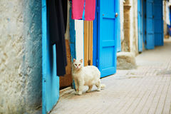 White cat on a street in Medina of Essaouira, Morocco. Adorable white cat on a street in Medina of Essaouira, Morocco Stock Photography