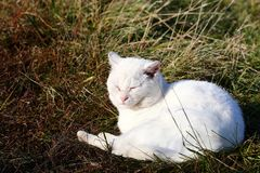 White cat. Sunbathing on a meadow royalty free stock image