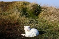 White cat. Sunbathing on a meadow stock photography