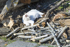 White Cat  sunbathing outdoor Royalty Free Stock Photography