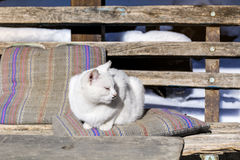 White cat sunbathing on a pillow Royalty Free Stock Photo