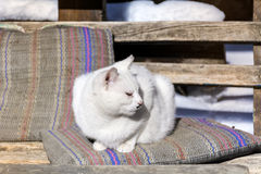 White cat sunbathing on a pillow Royalty Free Stock Image