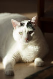 White cat  in sunlight. Black and white Turkish Van cat contrast portrait over blurred background in sunlight at cozy home atmosphere Stock Photography
