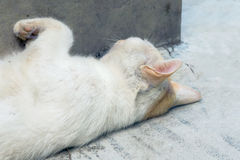 White Cat taking Forty Winks with concious ears Stock Photography