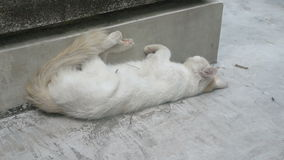 White Cat taking Forty Winks SUDDEN WAKE UP stock video